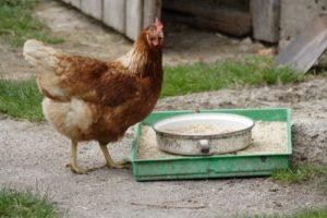 Huhn an Futterstelle