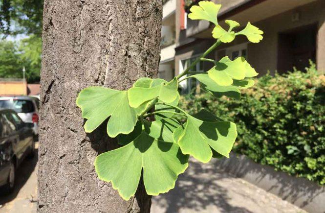 Ginkgo Blätter am Straßenrand