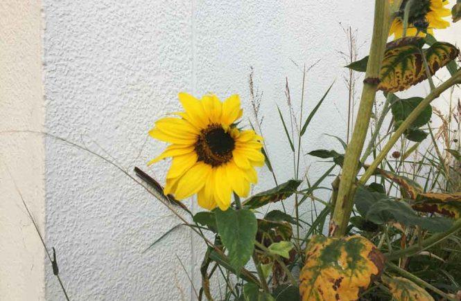 Sonnenblume vor weißer Hauswand